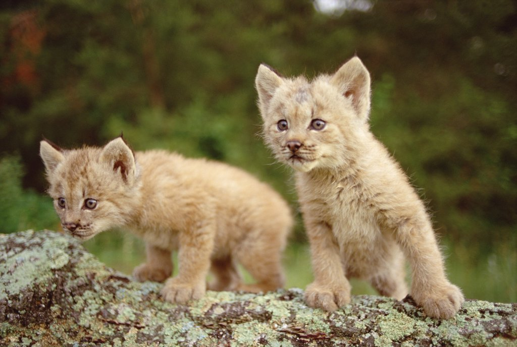 Canada Lynx (Lynx canadensis) kittens, Minnesota : Stock Photo