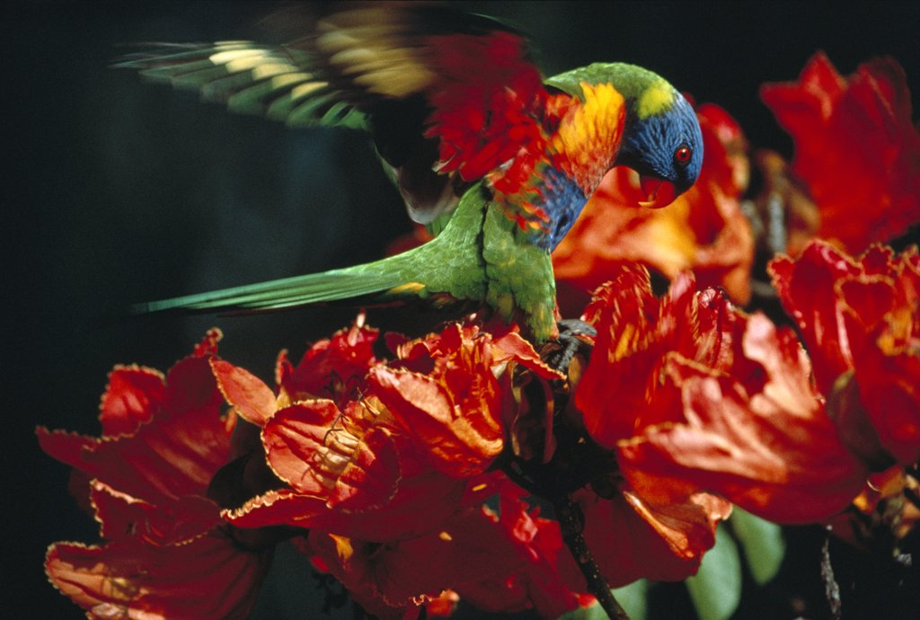 Rainbow Lorikeet (Trichoglossus haematodus) feeding on red flowers, Australia : Stock Photo