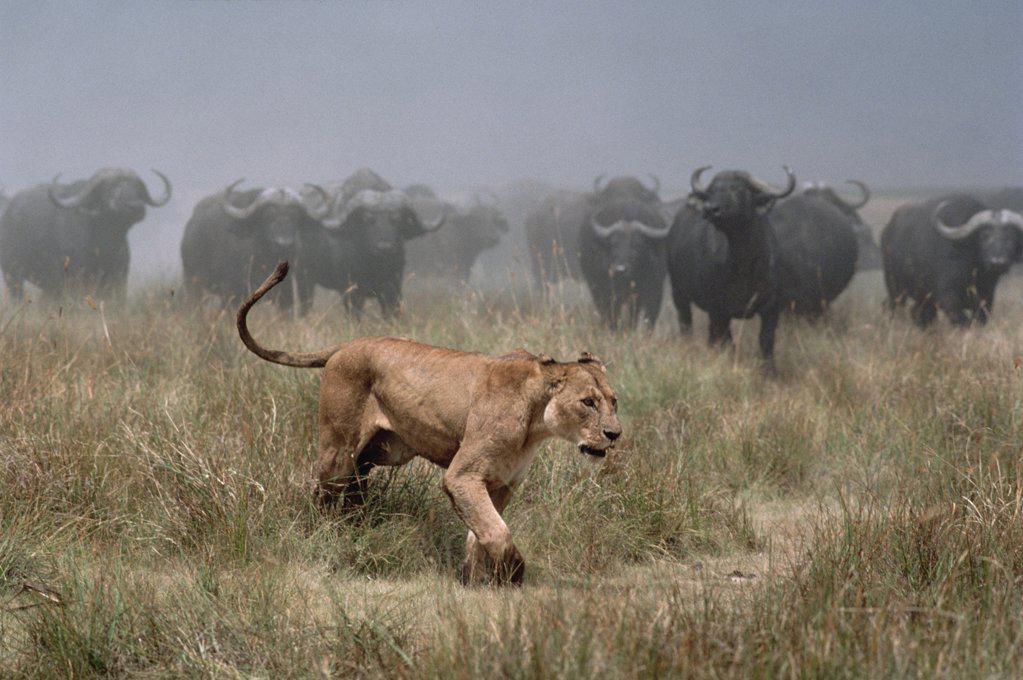 Cape Buffalo (Syncerus caffer) herd chasing African Lion (Panthera leo) female, Serengeti National Park, Tanzania : Stock Photo