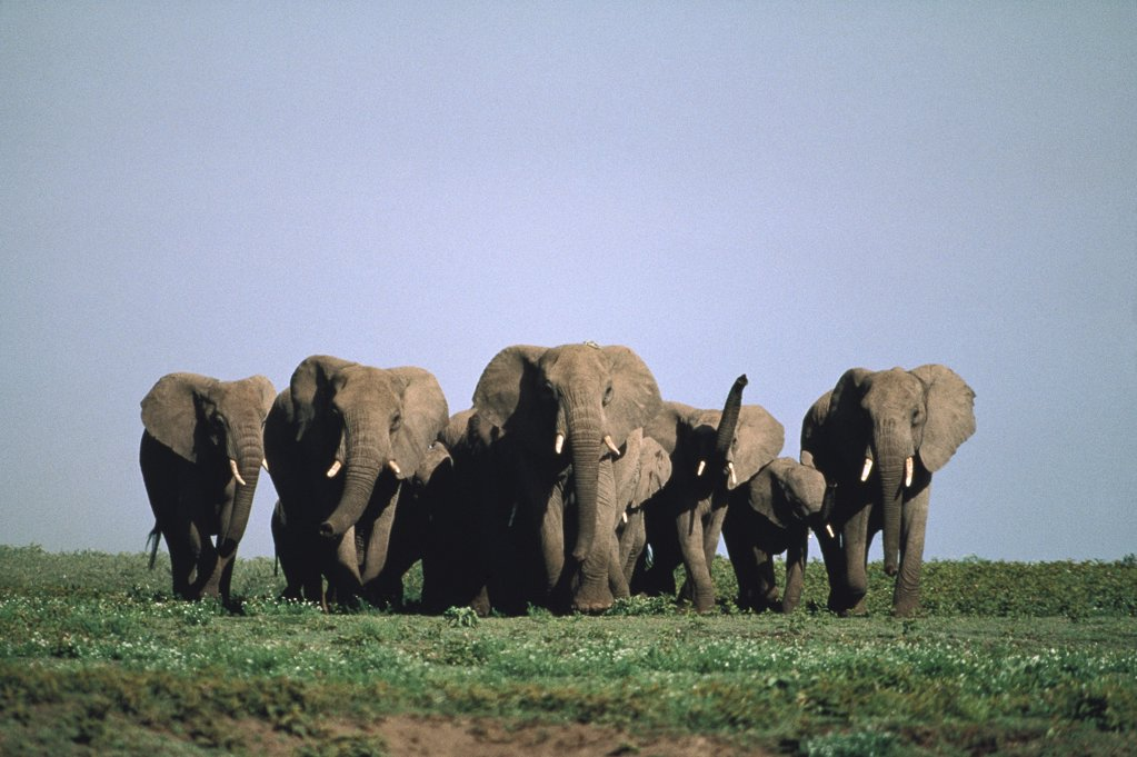 African Elephant (Loxodonta africana) herd on Serengeti National Park, Tanzania : Stock Photo