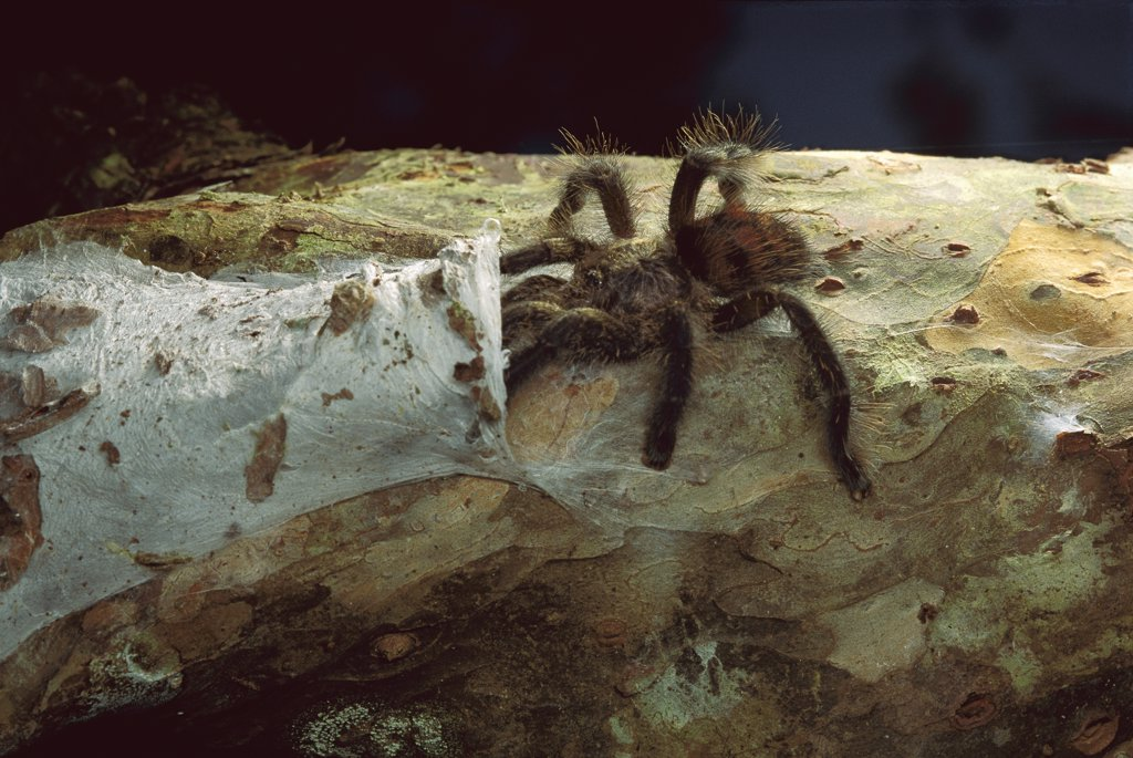 Tarantula (Theraphosidae) entering nest, Peru : Stock Photo