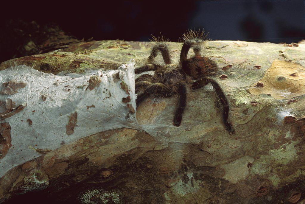 Stock Photo: 4201-14981 Tarantula (Theraphosidae) entering nest, Peru