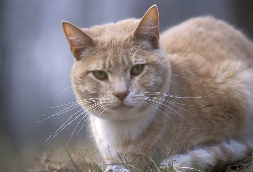 Orange Tabby cat named Skittles, traveled 350 miles cross-country to return home after being separated from his owners, Minnesota : Stock Photo