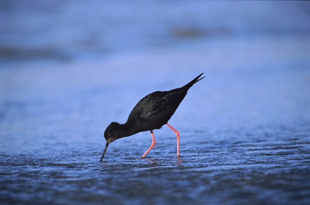 Stock Photo: 4201-1524 Black Stilt (Himantopus novaezealandiae) one of New Zealand's rarest birds, feeding in shallows of glacially fed Tasman River, Lake Pukaki, South Island, New Zealand