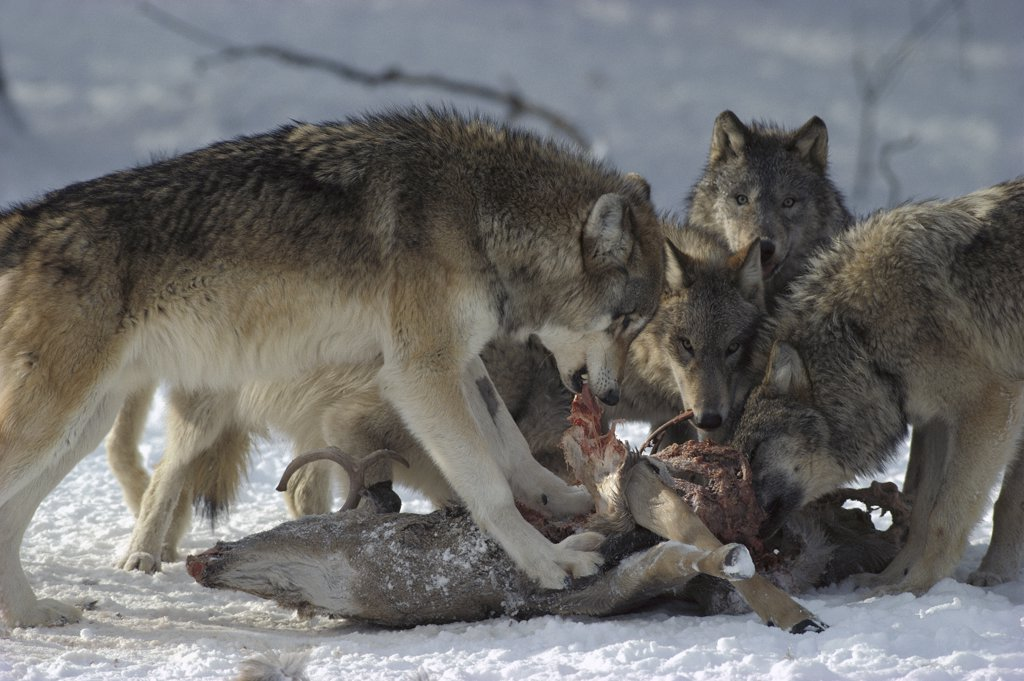 Timber Wolf (Canis lupus) pack feeding on White-tailed Deer (Odocoileus virginianus) carcass, Minnesota : Stock Photo