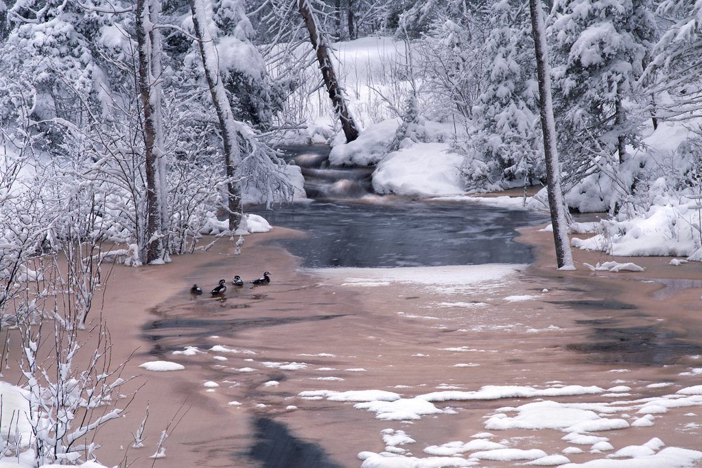 Stock Photo: 4201-15418 Wood Duck (Aix sponsa) quartet on snowy Judd Creek, Northwoods, Minnesota