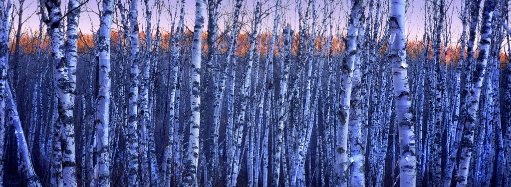 Birch (Betula sp) grove, Northwoods, Minnesota : Stock Photo