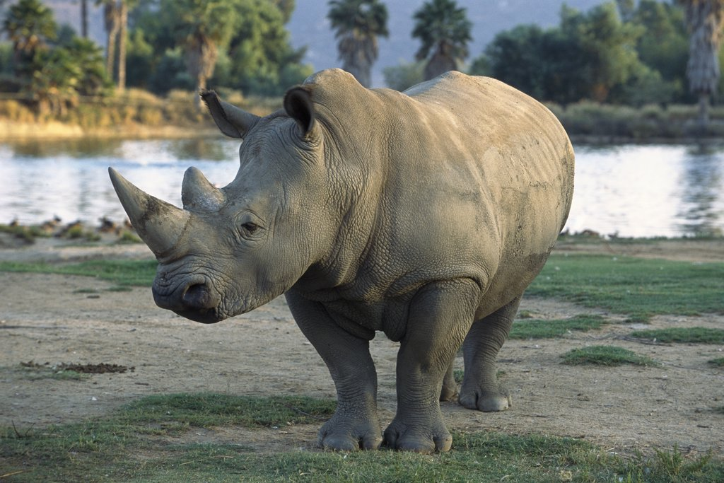 Stock Photo: 4201-15489 White Rhinoceros (Ceratotherium simum) adult portrait, native to Africa