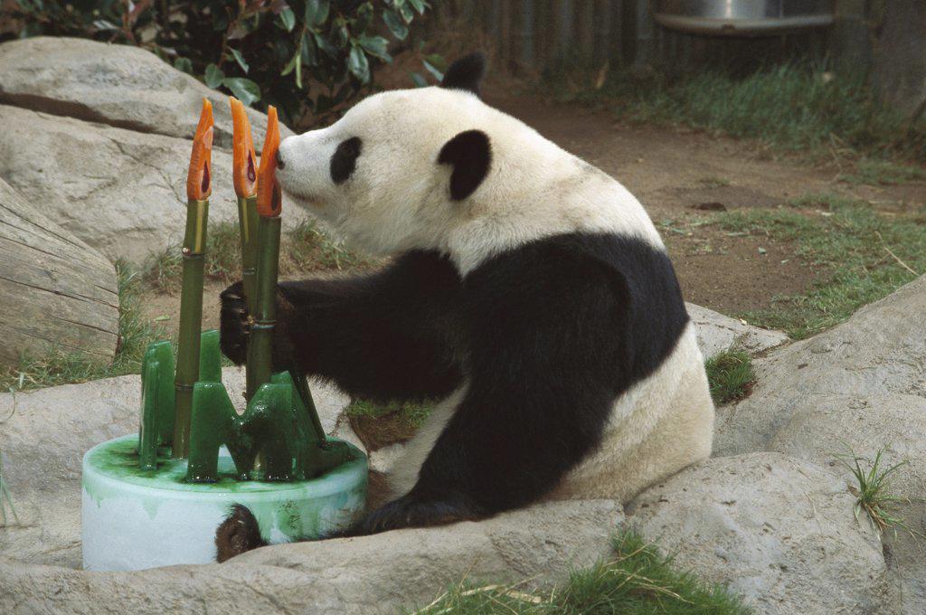 Stock Photo: 4201-15698 Giant Panda (Ailuropoda melanoleuca) baby Panda Hua Mei celebrating her third birthday with a cake, native to Asia