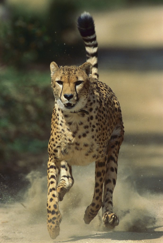 Stock Photo: 4201-15746 Cheetah (Acinonyx jubatus) running, San Diego Zoo, California