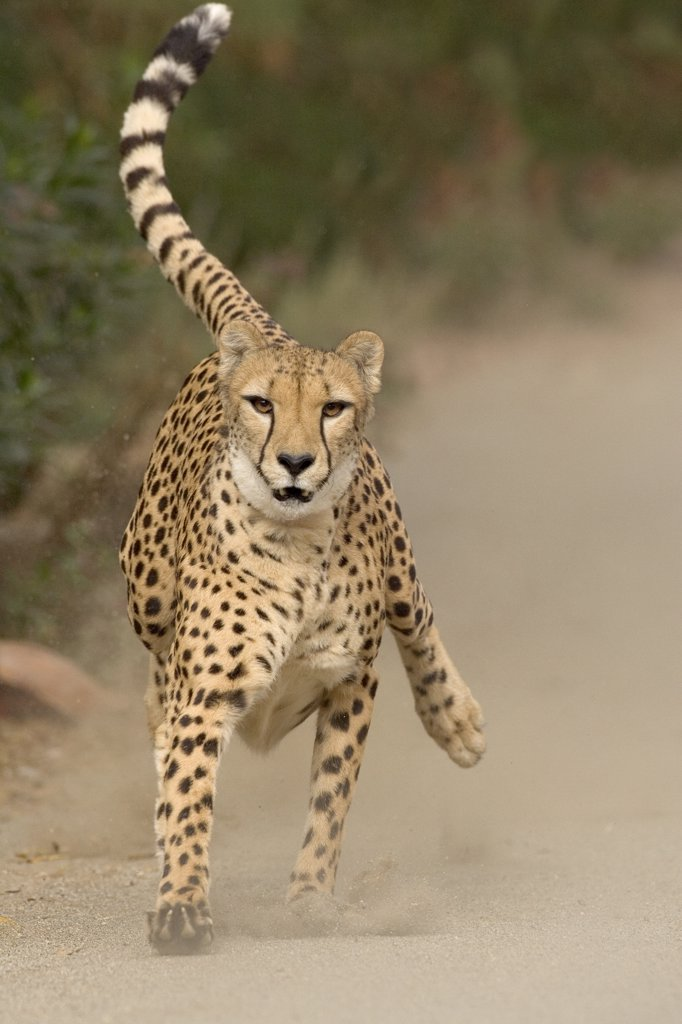 Cheetah (Acinonyx jubatus) in mid-stride, sequence 1 of 3 : Stock Photo