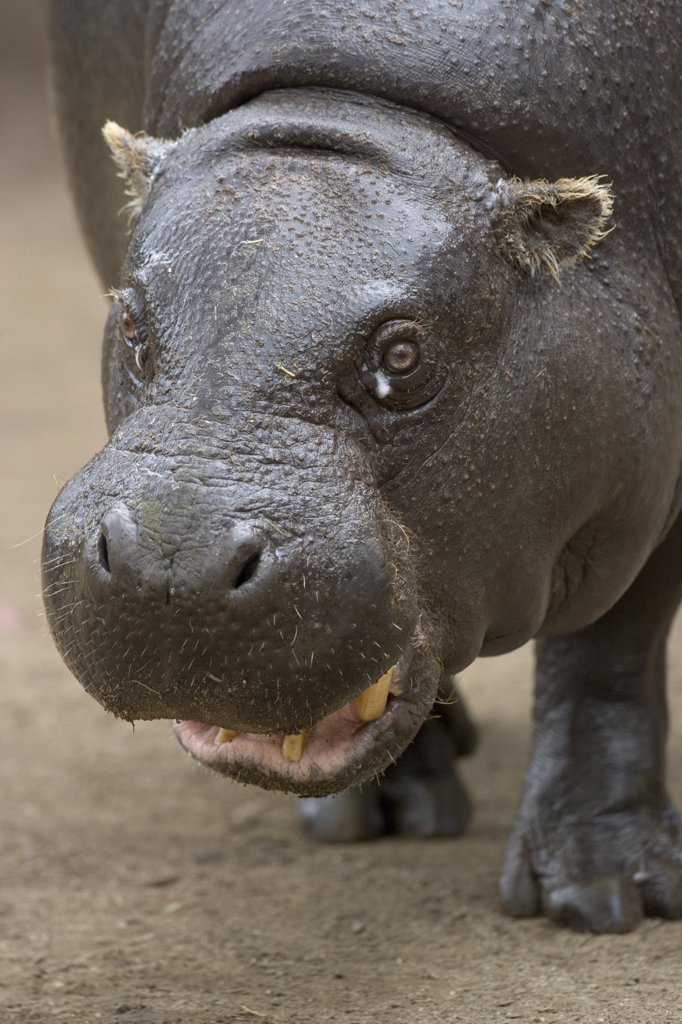 Stock Photo: 4201-15779 Pygmy Hippopotamus (Hexaprotodon liberiensis) portrait, native to West Africa