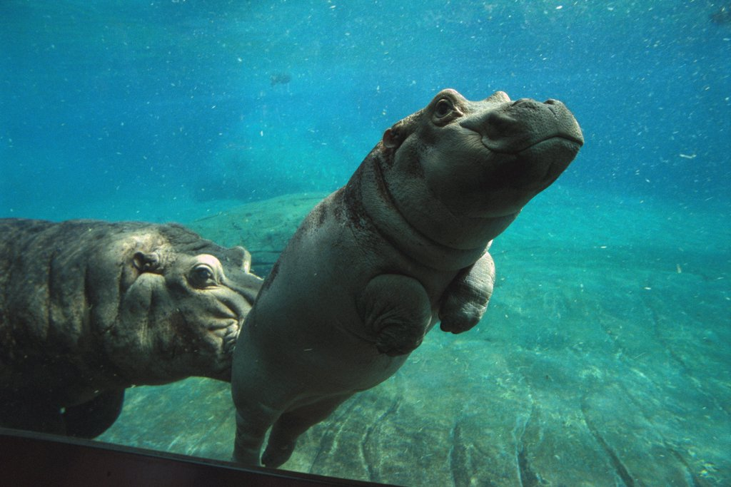 East African River Hippopotamus (Hippopotamus amphibius kiboko) baby being nudged by mother underwater, native to Africa : Stock Photo