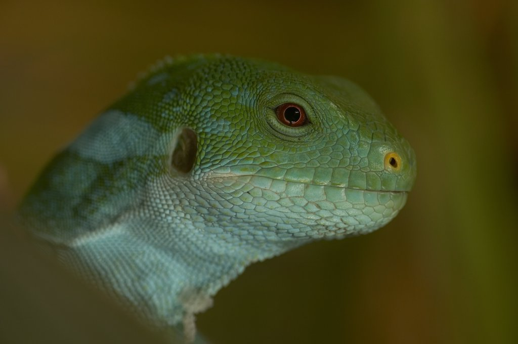 Stock Photo: 4201-15807 Fiji Banded Iguana (Brachylophus fasciatus) side view portrait of head showing ear opening, endangered, native to Fiji, Tonga and other Pacific islands