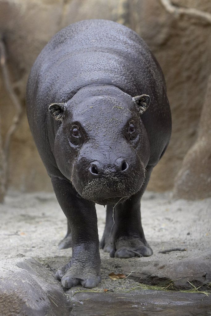 Stock Photo: 4201-15809 Pygmy Hippopotamus (Hexaprotodon liberiensis) portrait, endangered, native to West Africa