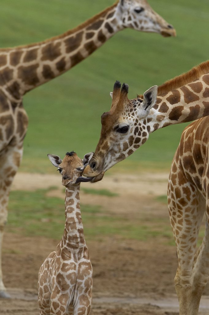 Rothschild Giraffe (Giraffa camelopardalis rothschildi) mother kissing calf, native to Africa : Stock Photo
