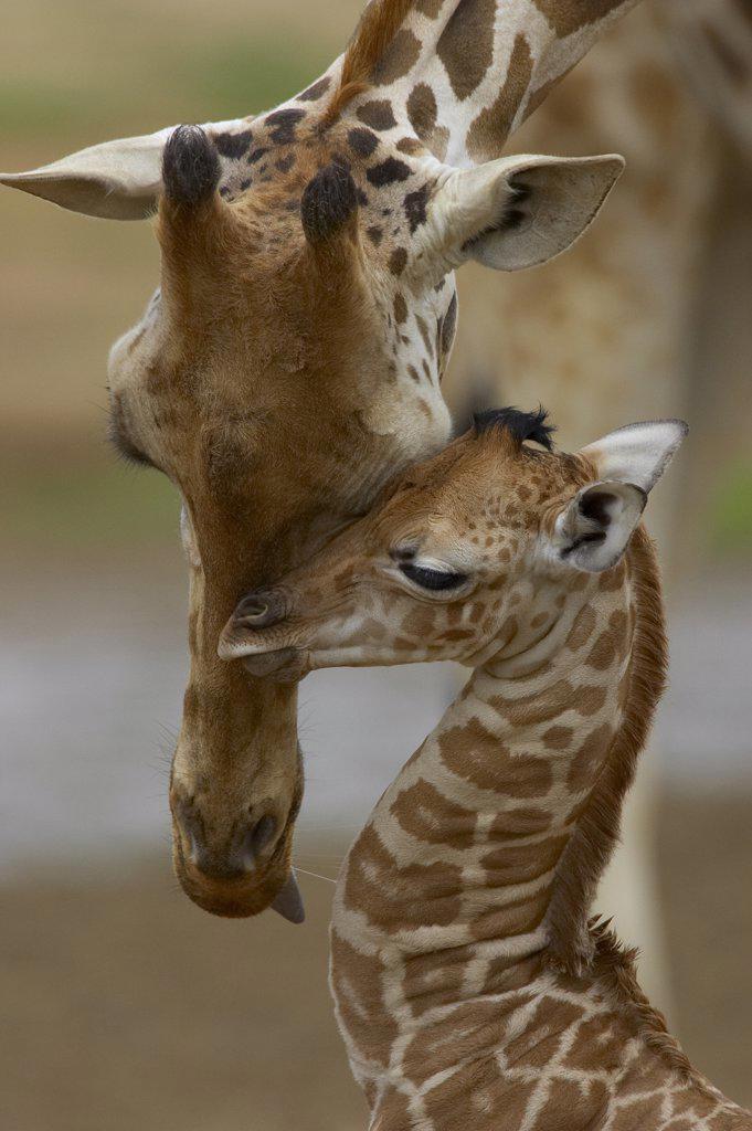 Rothschild Giraffe (Giraffa camelopardalis rothschildi) mother nuzzling calf, native to Africa : Stock Photo