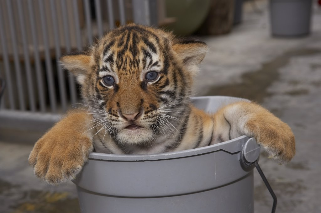 Stock Photo: 4201-15823 Malayan Tiger (Panthera tigris jacksoni) cub in bucket waiting for bath, endangered, native to Malay Peninsula