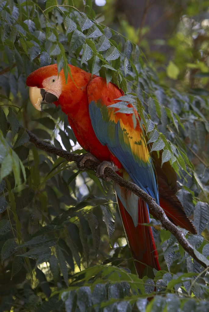 Scarlet Macaw (Ara macao) portrait in tree, native to Peru and Brazil : Stock Photo