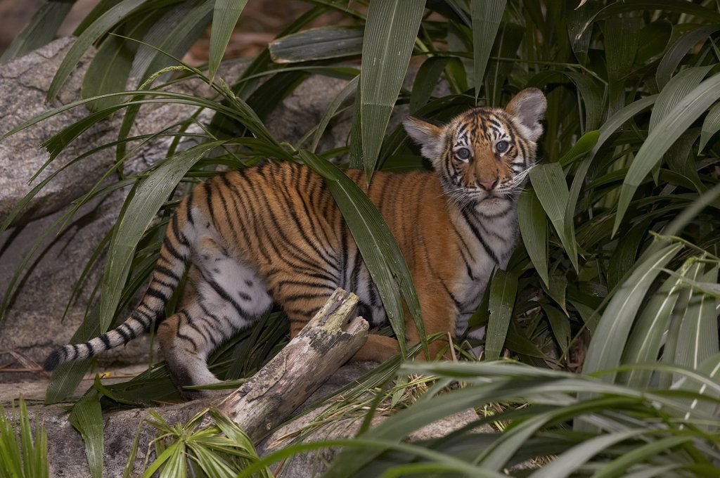 Malayan Tiger (Panthera tigris jacksoni) cub amid leaves, endangered, native to Malay Peninsula : Stock Photo