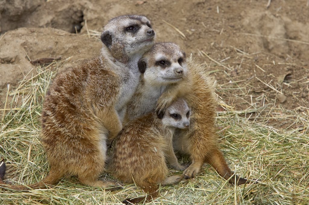 Stock Photo: 4201-15837 Meerkat (Suricata suricatta) trio huddling together, native to Africa