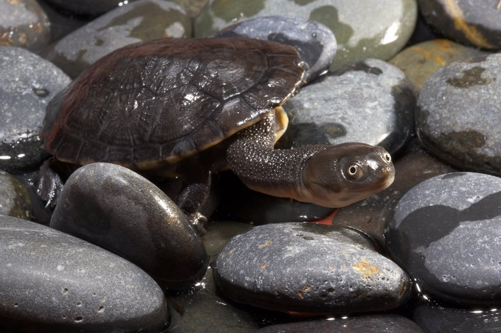 Hilaire's Sideneck Turtle (Phrynops hilarii) on rocks, native to South America : Stock Photo