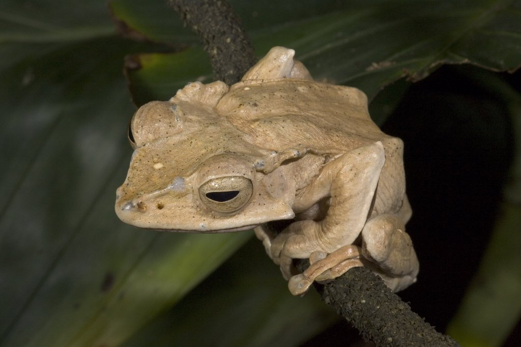 Stock Photo: 4201-15841 Bornean Tree-hole Frog (Metaphrynella sundana), native to Indonesia