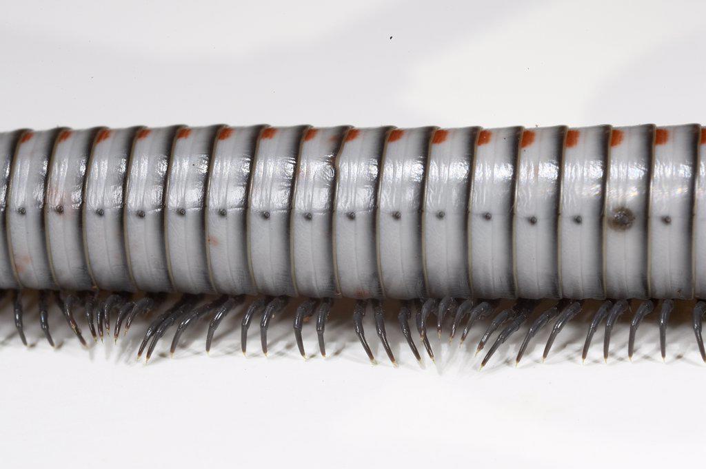 Orange-spotted Millipede (Anadenobolus arboreus gundlachi) detail of body segments and legs, native to Puerto Rico : Stock Photo