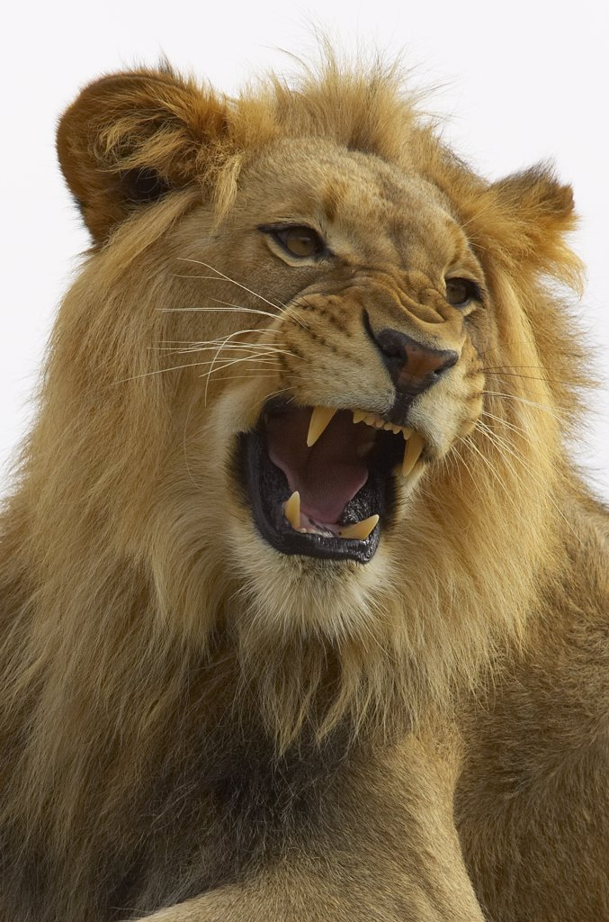 Stock Photo: 4201-15849 African Lion (Panthera leo) male growling, threatened, native to Africa