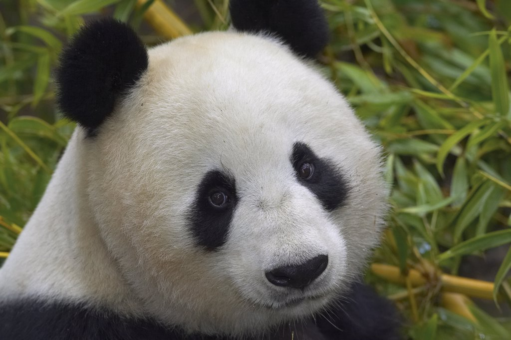 Giant Panda (Ailuropoda melanoleuca) portrait, endangered, native to China : Stock Photo