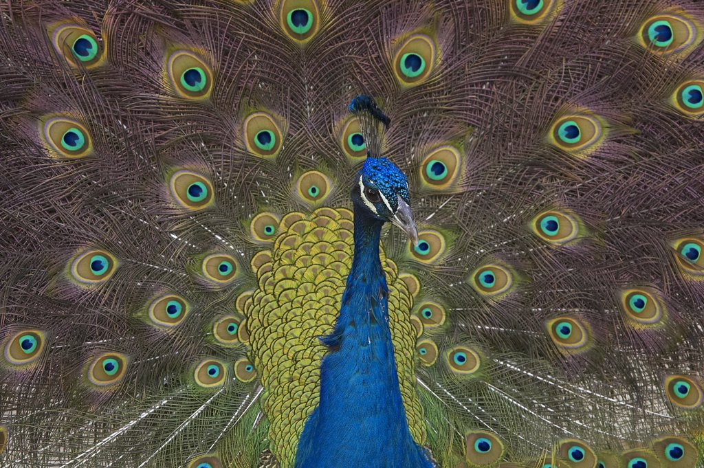 Stock Photo: 4201-15851 Indian Peafowl (Pavo cristatus) male displaying tail feathers, native to India