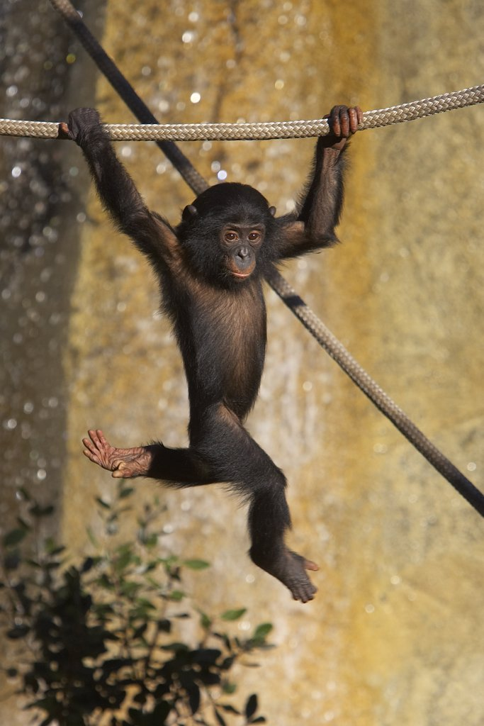 Stock Photo: 4201-15853 Bonobo (Pan paniscus) baby playing on ropes, endangered, native to Africa
