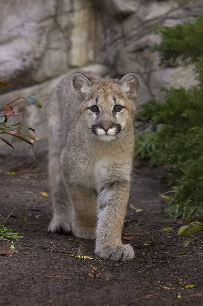Stock Photo: 4201-15962 Mountain Lion (Puma concolor) cub walking, San Diego Zoo, California