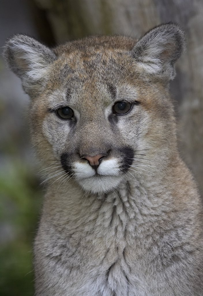 Mountain Lion (Puma concolor) cub, San Diego Zoo, California : Stock Photo
