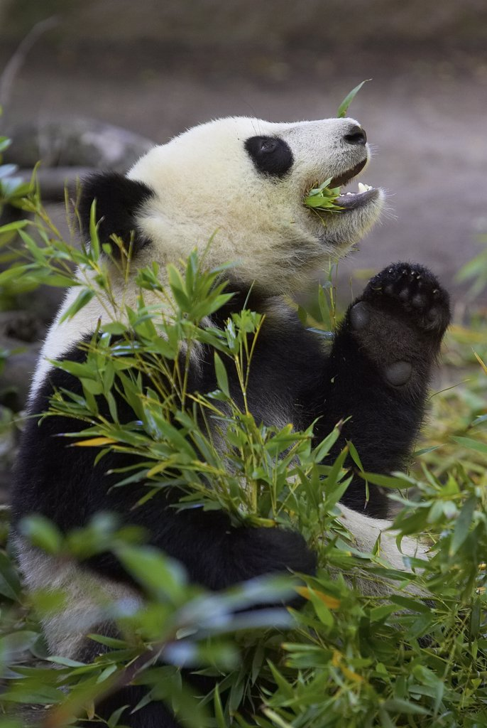 Stock Photo: 4201-15971 Giant Panda (Ailuropoda melanoleuca) eating bamboo, endangered species native to China, San Diego Zoo, California