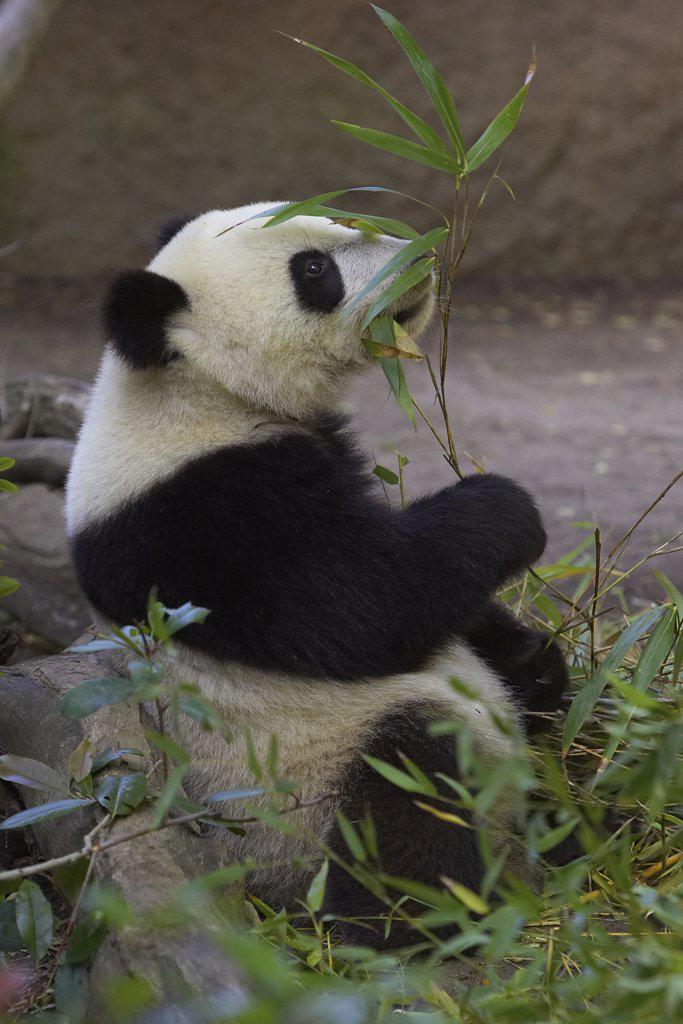 Stock Photo: 4201-15972 Giant Panda (Ailuropoda melanoleuca) eating bamboo, endangered species native to China, San Diego Zoo, California