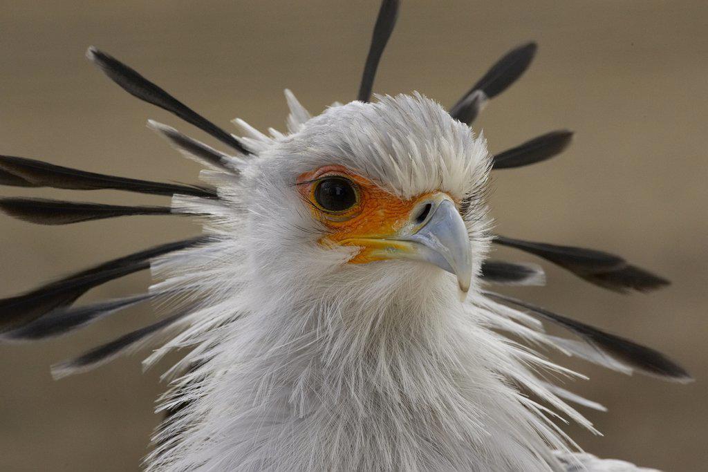 Secretary Bird (Sagittarius serpentarius) portrait, native to Africa, San Diego Zoo, California : Stock Photo