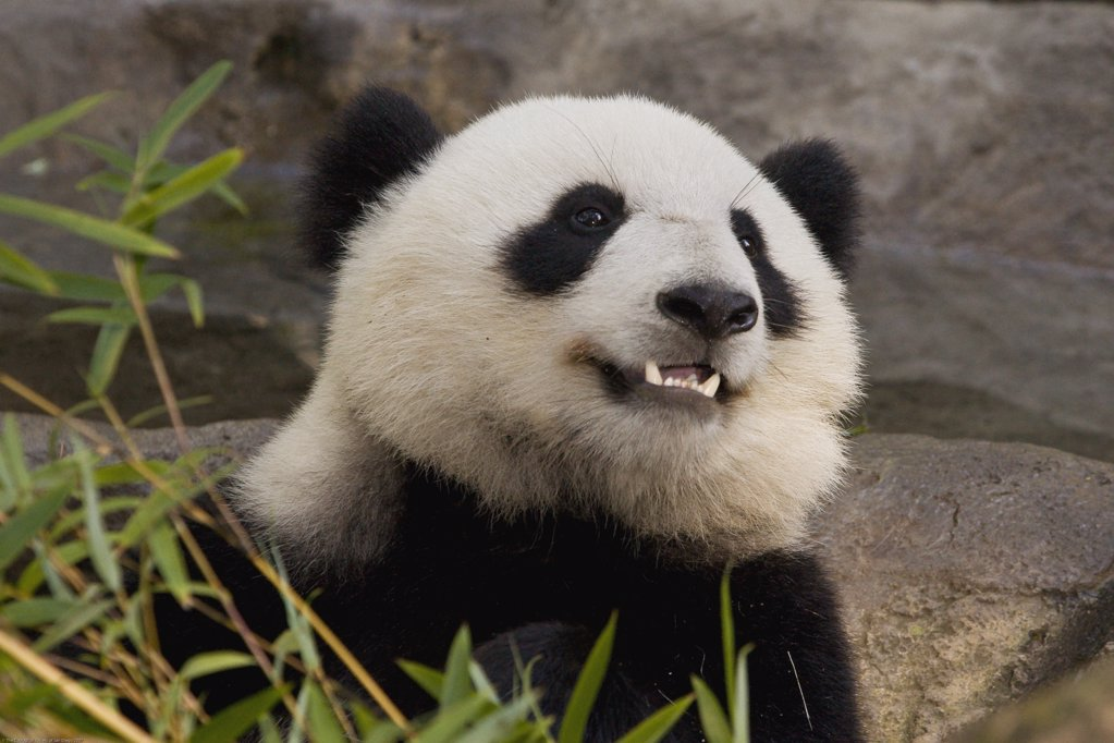 Stock Photo: 4201-15998 Giant Panda (Ailuropoda melanoleuca) portrait, endangered species native to China, San Diego Zoo, California