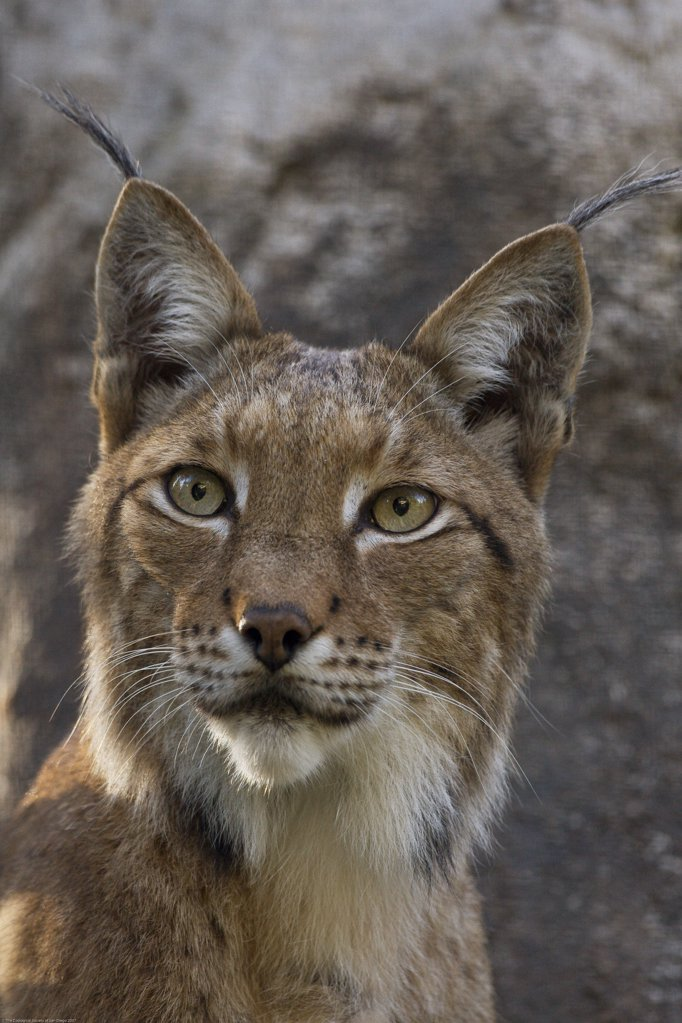 Stock Photo: 4201-16001 Eurasian Lynx (Lynx lynx) portrait, native to Europe and Siberia, San Diego Zoo, California