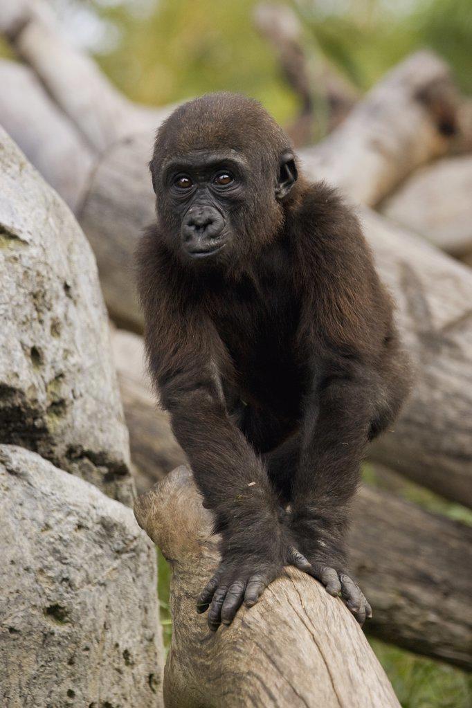 Stock Photo: 4201-16010 Western Lowland Gorilla (Gorilla gorilla gorilla) baby, critically endangered species native to Africa, San Diego Zoo, California