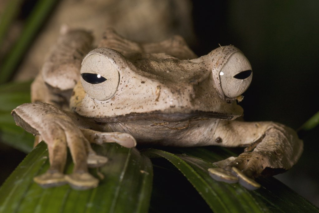 Bornean Eared Frog (Polypedates otilophus), native to Borneo, San Diego Zoo, California : Stock Photo