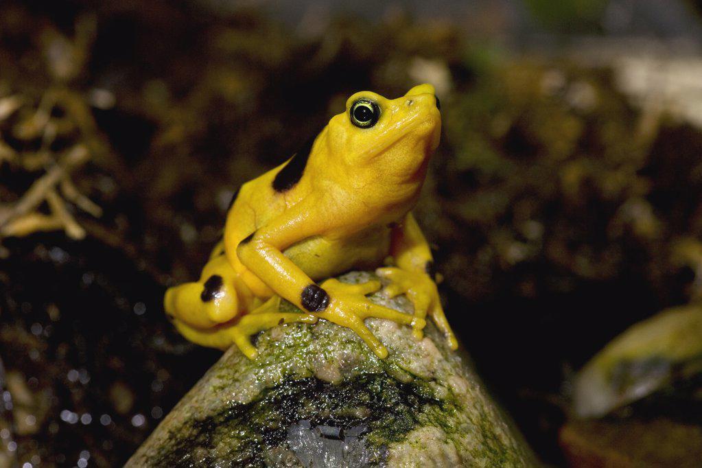 Stock Photo: 4201-16027 Panamanian Golden Frog (Atelopus zeteki) critically endangered species native to Panama, San Diego Zoo, California