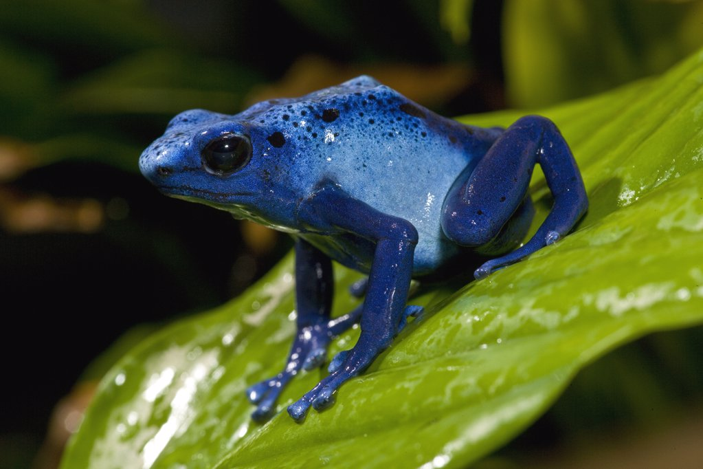 Blue Poison Dart Frog (Dendrobates azureus) very tiny poisonous frog, Indian tribes use poison for arrows, native to South America, San Diego Zoo, California : Stock Photo