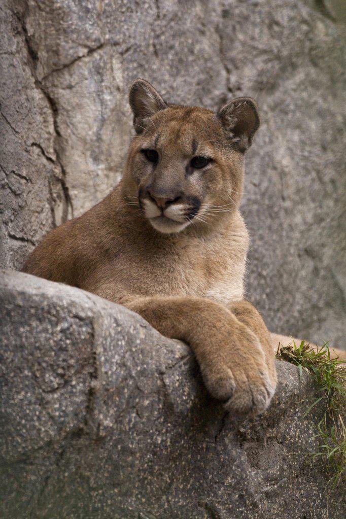 Mountain Lion (Puma concolor) cub portrait, San Diego Zoo, California : Stock Photo