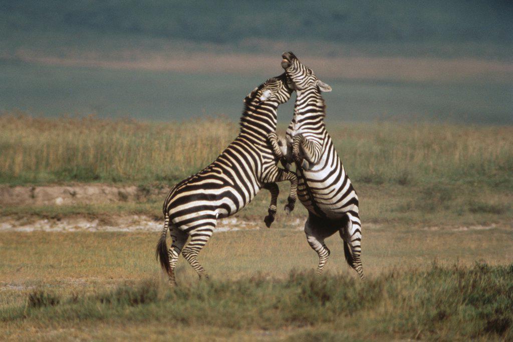 Stock Photo: 4201-16475 Burchell's Zebra (Equus burchellii) males fighting, Serengeti National Park, Tanzania