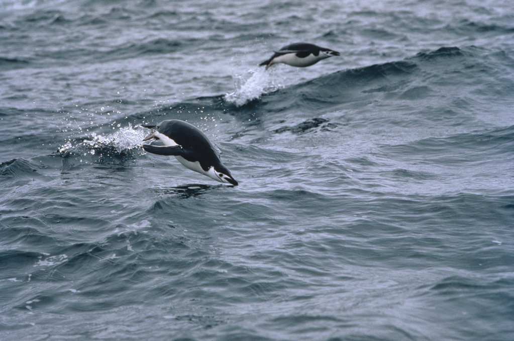 Chinstrap Penguin (Pygoscelis antarctica) pair porpoising through waves, Antarctica : Stock Photo