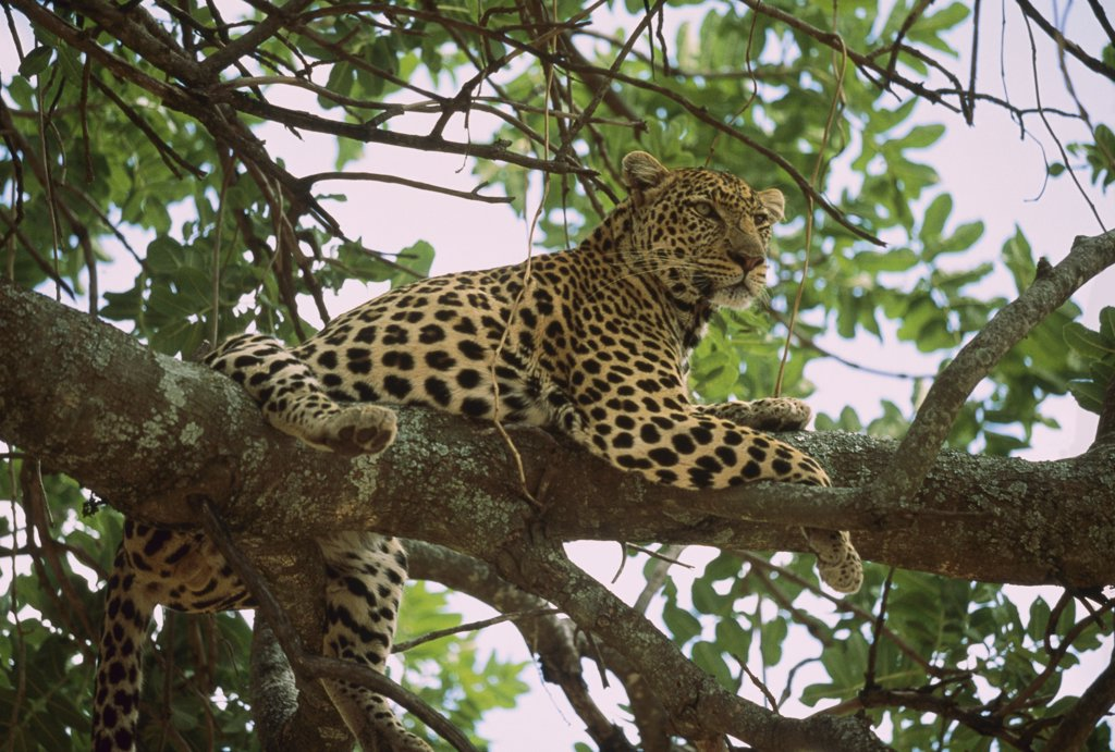 Leopard (Panthera pardus) resting in Whistling Thorn (Acacia drepanolobium) acacia tree, Masai Mara, Kenya : Stock Photo