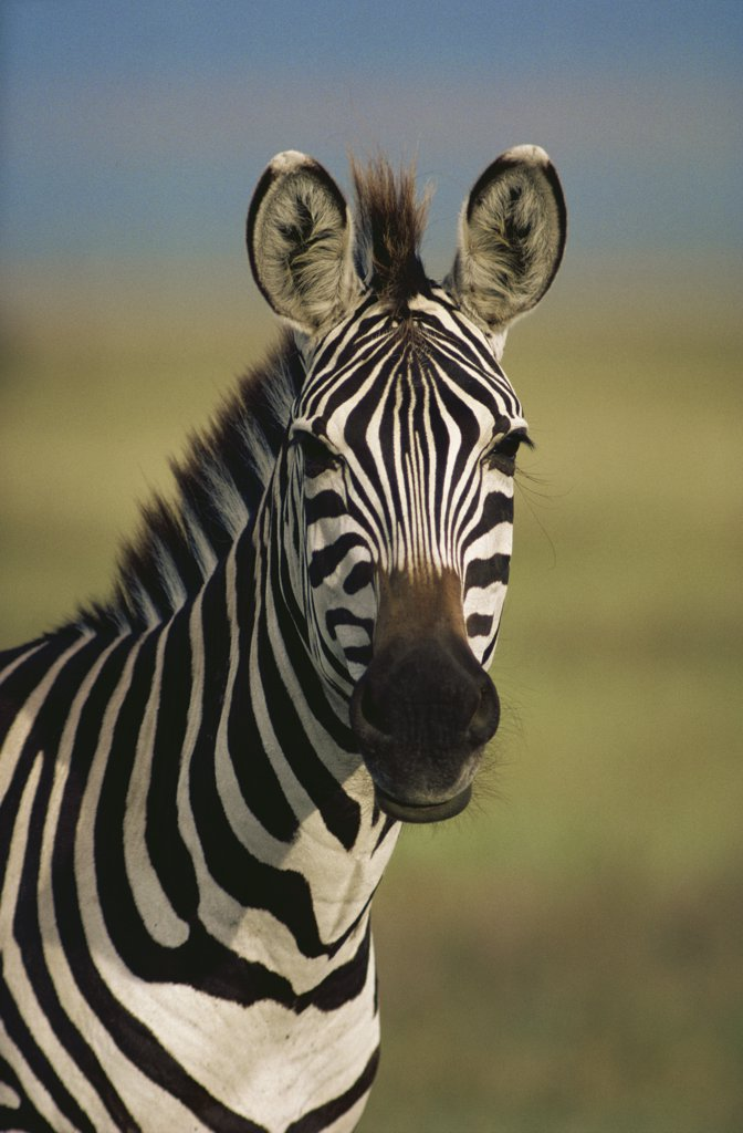 Burchell's Zebra (Equus burchellii) portrait, Botswana : Stock Photo