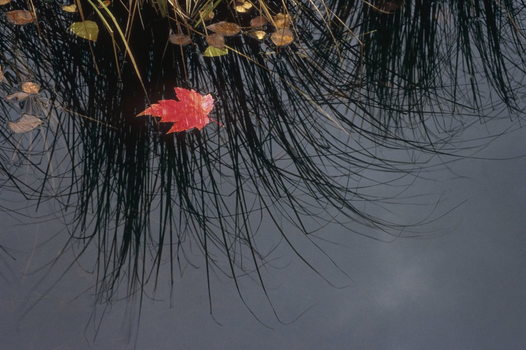 Maple (Acer sp) leaf in pond, Minnesota : Stock Photo