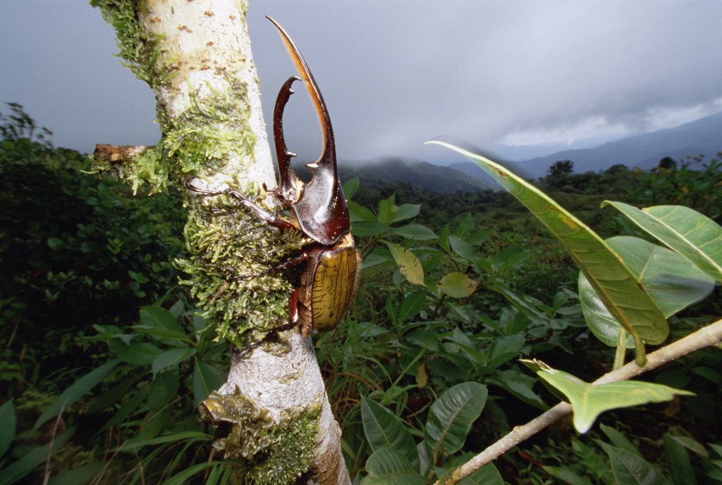 Hercules Scarab Beetle (Dynastes hercules) on tree trunk, Fortuna National Park, Panama : Stock Photo